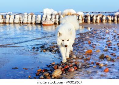 white Samoyed dog walks near the sea in winter