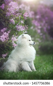 White samoyed outdoors. Blooming lilac