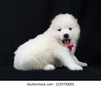 White samoyed puppy. Cute portrait of domestic dog