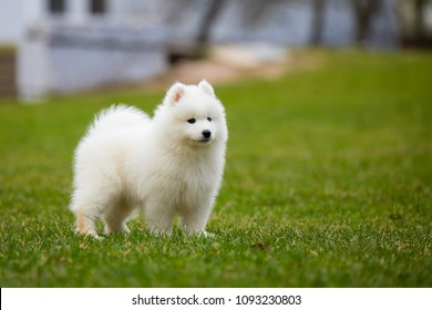 White Samoyed Puppy Dog Outdoor In Park.