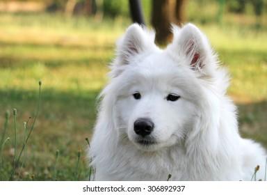 White samoyed puppy dog relax at garden