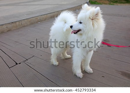 White Samoyeds Dog Park Stock Photo Edit Now 452793334 Shutterstock