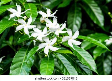 White Sampaguita Jasmine or Arabian Jasmine flowers blossom (Jasminum sambac (L.) Aiton; Oleaceae)
