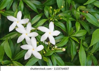 White Sampaguita Jasmine Flowers