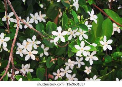 White sampaguita jasmine flowers , nature group blooming in garden