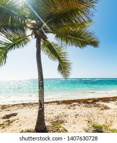 White sand and palm tree in Raisins Clairs in Guadeloupe, French west indies. Lesser Antilles, Caribbean sea