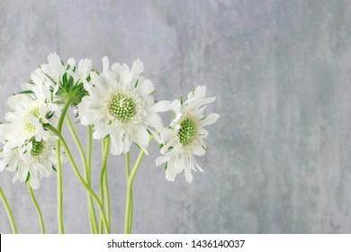 White scabiosa flowers on grey stone background.
