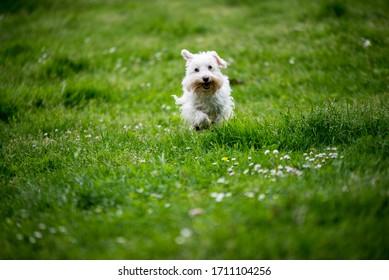 white schnauzer running in the grass