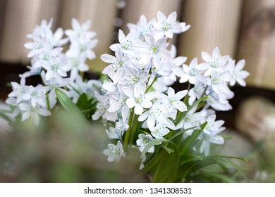 White Scilla flowers in the garden