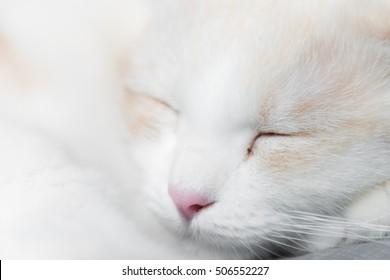 White Scottish cat sleep,Close up,Selective focus.