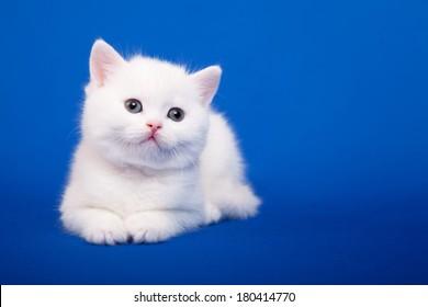 White Scottish purebred cat is sitting on blue background