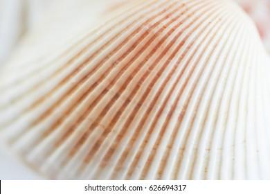 white sea shell macro close up