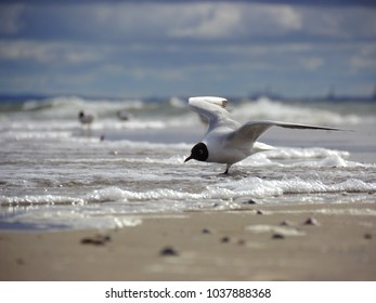White seagull with black head on the shore line, spreading its wings just before take off.