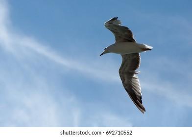 White seagull flying in blue sky