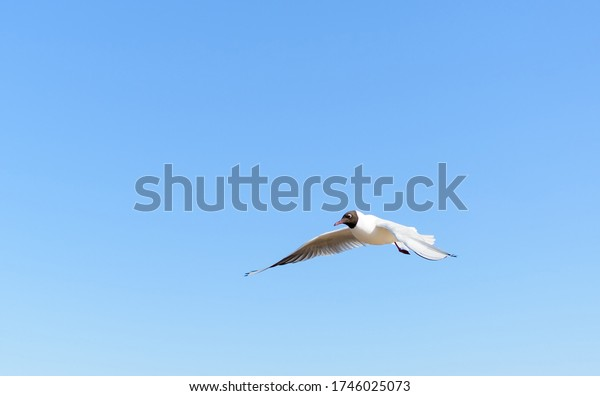 white-seagull-flying-bright-blue-600w-17