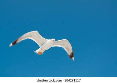 White Seagull with spread wings flying against a blue sky. Croatia