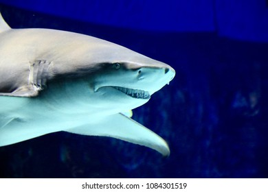 White shark in aquarium