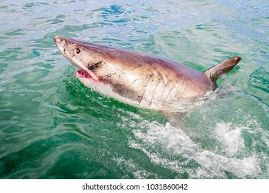 White shark from the boat during a cage diving activity in South Africa