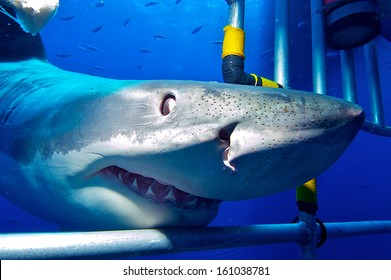 white shark in the cage / Great White Shark swims to the divers in the cage