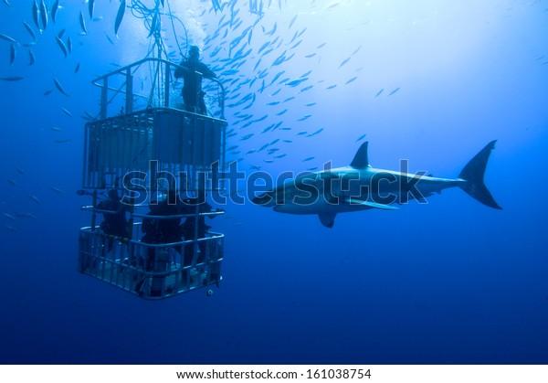 White shark, cage / great white shark swims around the cage
