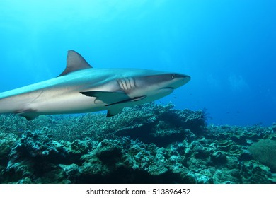 White Shark Dangerous big  Fish Papua New Guinea Pacific Ocean