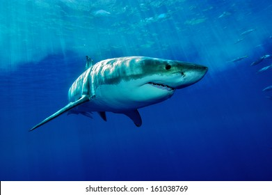 white Shark / Great white shark from Guadalupe Iceland in the deep blue water