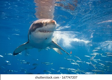 White shark near surface.