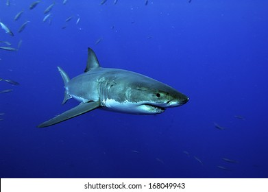 white shark swimming in blue water from Guadalupe