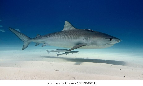 White shark swimming and looking for prey to eat in the deep blue of the oceans.