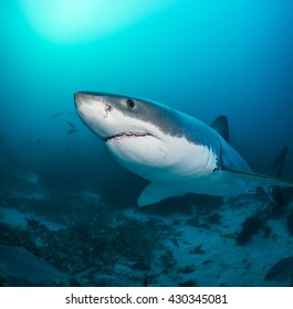 White shark swimming near the ocean bottom, Neptune Islands, South Australia
