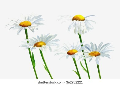 White Shasta Daisies with Shadows. watercolor painting, illustration style, of white shasta daisies on a white background.