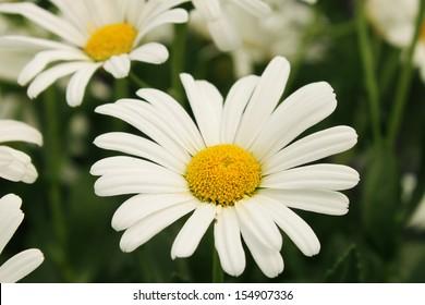 White Shasta daisy