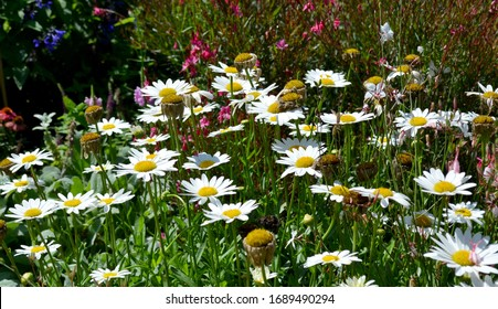 White Shasta Daisy with Green Leaves In The Sunshine