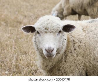 White sheep in autumn field