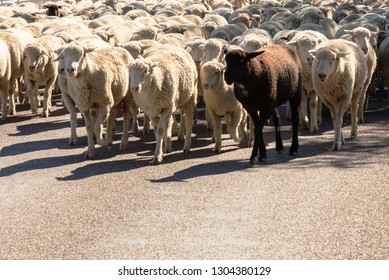 white sheep being herded on a livestock corridor road with one black sheep