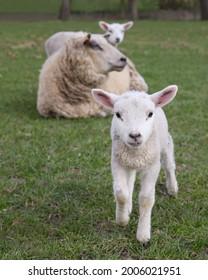 White sheep ewe with lamb