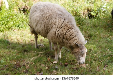 White sheep grazing in a field in Brittany
