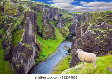 White sheep grazing on the cliff.  Bizarre shape of cliffs surround the stream with glacial water. The Icelandic Tundra in July