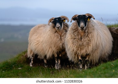White sheep grazing on the green  slopes of of the Quiraing mountains, on the Isle of Skye, in the evening light of setting sun