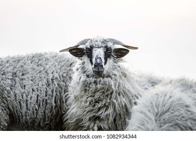 white sheep isolated. sheep head