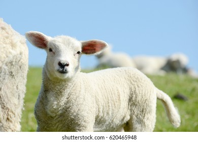 White Sheep lamb standing on pasture