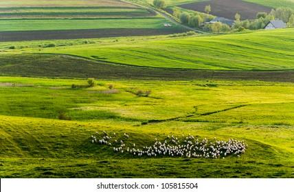 White sheep land