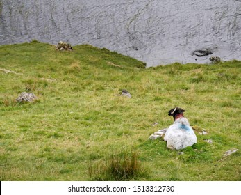 White sheep laying on a grass bay a lake, Connemara , Ireland. Concept livestock, agriculture, farming,