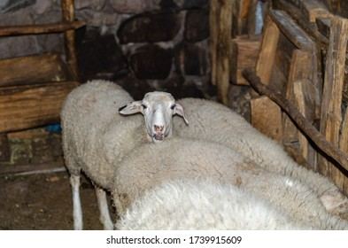 White sheep is looking at the camera in the pen