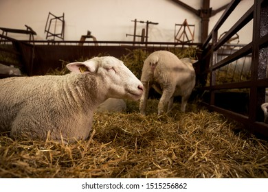 The white sheep is lying on a straw and contemplating while it is in a stable with other sheep.