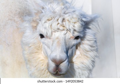 white sheep mammal animal farm head portrait close-up