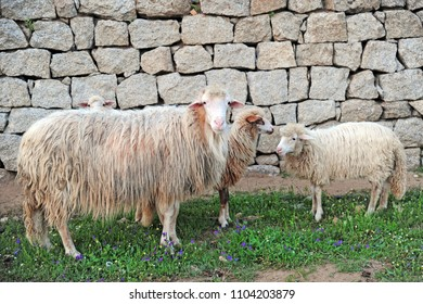 white sheep for milk and wool production ( Sardinia )