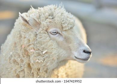 White sheep on the farm.