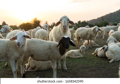 White sheep on the farm with beautiful sunset. Many vietnamese sheep walking around the field .Farm animals concept. Vung Tau, Vietnam.