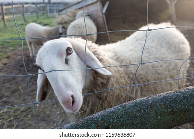 A white sheep on a farm looking through the fence